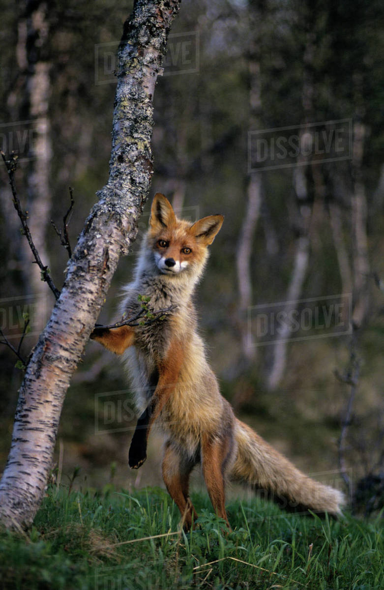 Red Fox Vulpes Vulpes Standing On Hind Legs With Front Paw On Tree