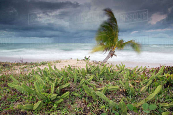 Stormy coastal landscape with heavy rainfall approaching the coast in very windy conditions with cacti at the edge of the beach, Marao peninsula, Bahia, Brazil, August 2010 Rights-managed stock photo