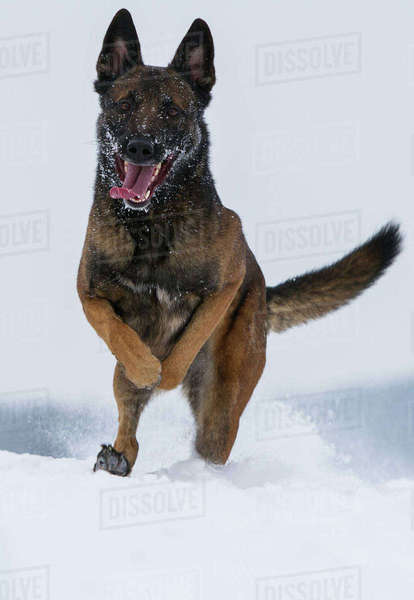 A Malinois / Belgian Shepherd police dog 'Mia' owned by German police officer and dog handler, playing in the snow.  Germany Rights-managed stock photo