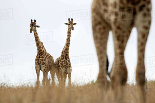 South African giraffe (Giraffa camelopardalis) group,  Itala Game Reserve, KwaZulu-Natal, South Africa. Rights-managed stock photo