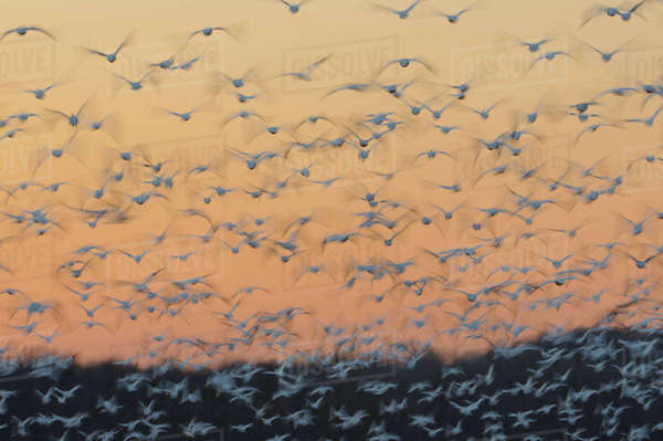Greater snow geese (Chen caerulescens) taking flight at sunset during migration. Montezuma National Wildlife Rescue, New York, USA. March. Rights-managed stock photo