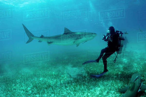 Scuba diver Jim Abernethy photographing Tiger shark, (Galeocerdo cuvier) Northern Bahamas, Caribbean Sea, Atlantic Ocean. March 2009. Rights-managed stock photo