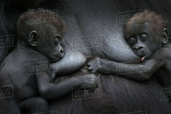 Western lowland gorilla (Gorilla gorilla gorilla) twin babies age 45 days resting on mother's chest, one suckling. captive, occurs in Central Africa. Critically endangered. Rights-managed stock photo