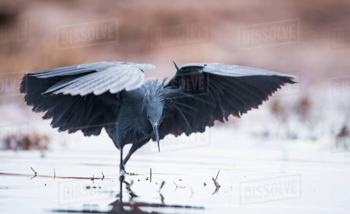 black heron egretta ardesiaca fishing and using wings to create an
