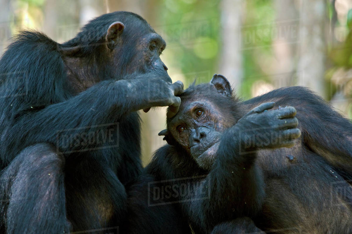 Chimpanzee (Pan troglodytes) being groomed whilst eating berries  Mahale  National Park, Tanzania  Endangered species  stock photo