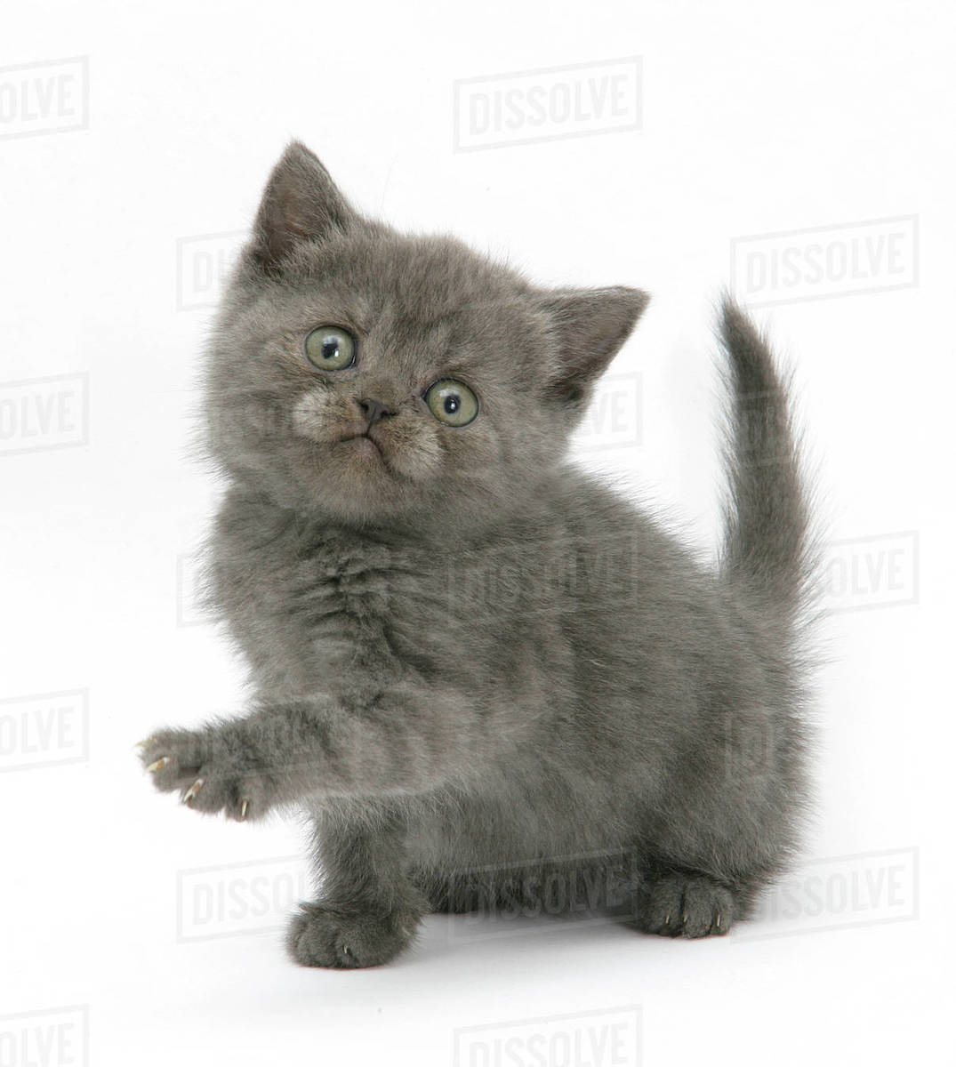 Grey kitten holding out paw. Royalty-free stock photo