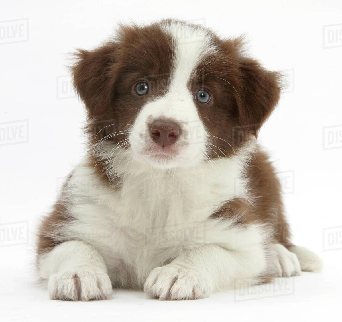 Chocolate Border Collie Puppy Age 7 Weeks Stock Photo Dissolve