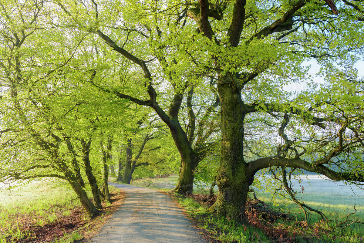 Old Oak Trees Along Road In Spring Hesse Germany Stock Photo