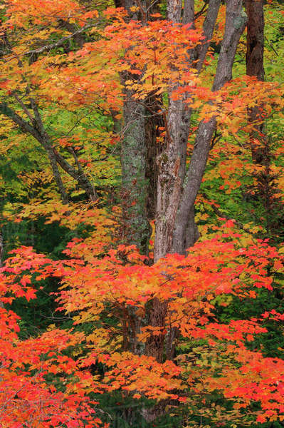 Maple Tree in Autumn, Algonquin Provincial Park, Ontario, Canada Royalty-free stock photo