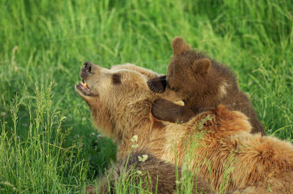Female Brown Bear with Cub in Meadow Royalty-free stock photo