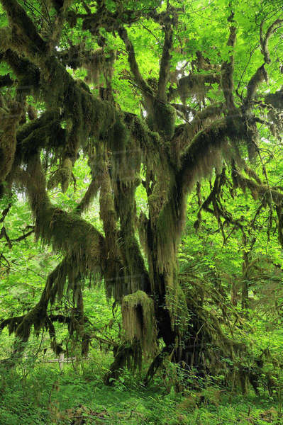 Hall of Mosses, Hoh Rain Forest, Olympic National Park, Washington State, USA Royalty-free stock photo