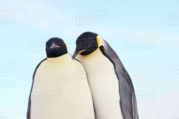 Emperor Penguins, Snow Hill Island, Antarctic Peninsula Royalty-free stock photo