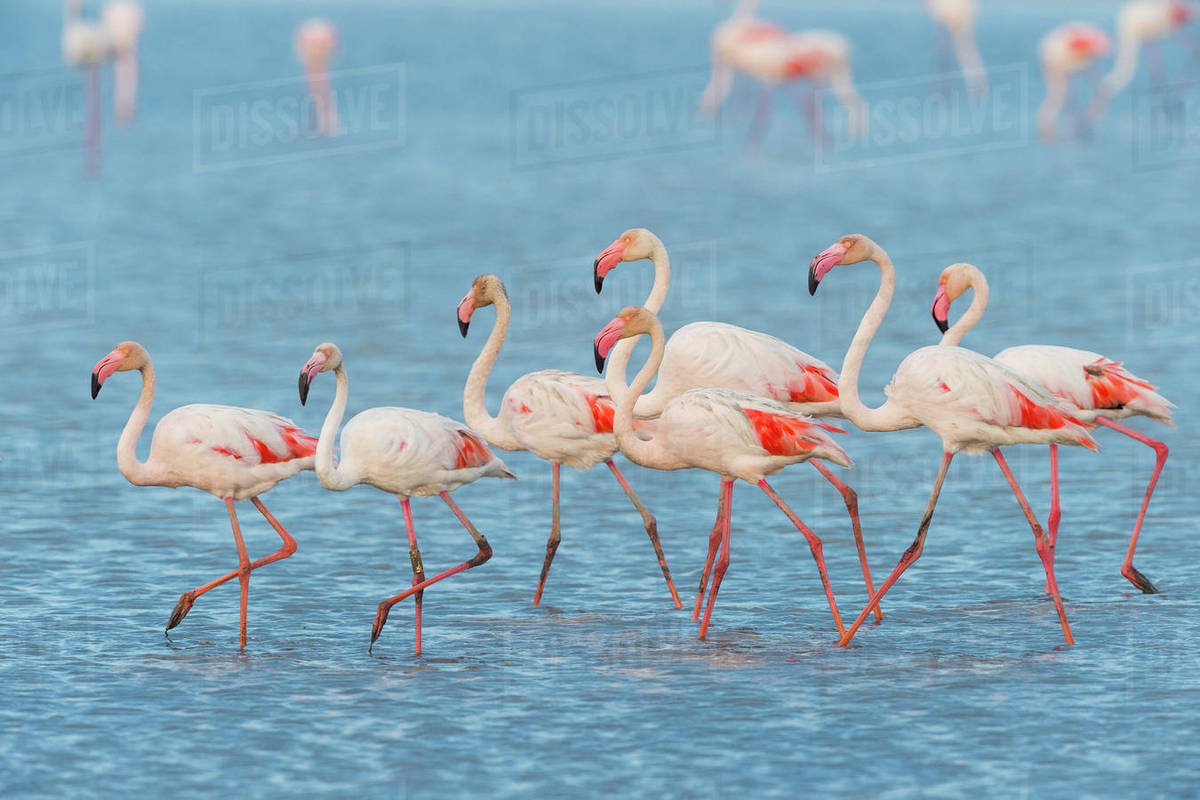 Greater Flamingos Phoenicopterus Roseus Saintes Maries De La Mer Parc Naturel Regional De Camargue D12829591