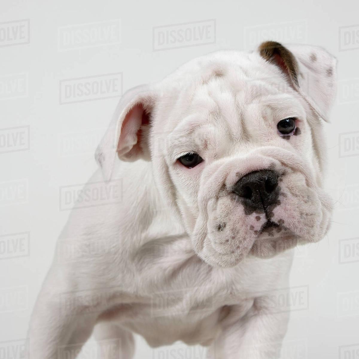 British Bulldog Puppy Royalty-free stock photo