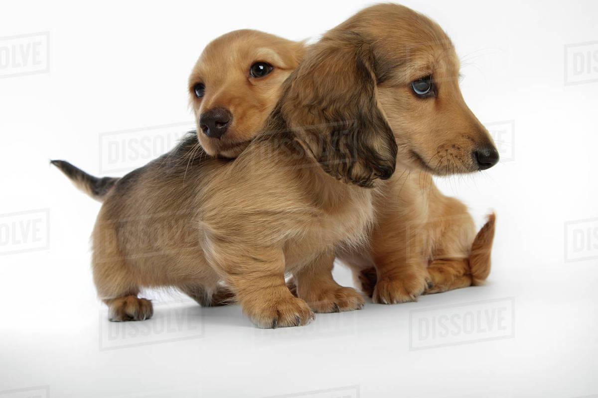 Dachshund Puppies Stock Photo Dissolve
