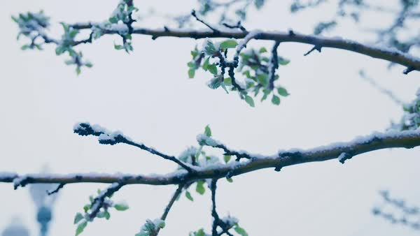Snow falls upon a tree branch in front of a cloudy sky. Royalty-free stock video