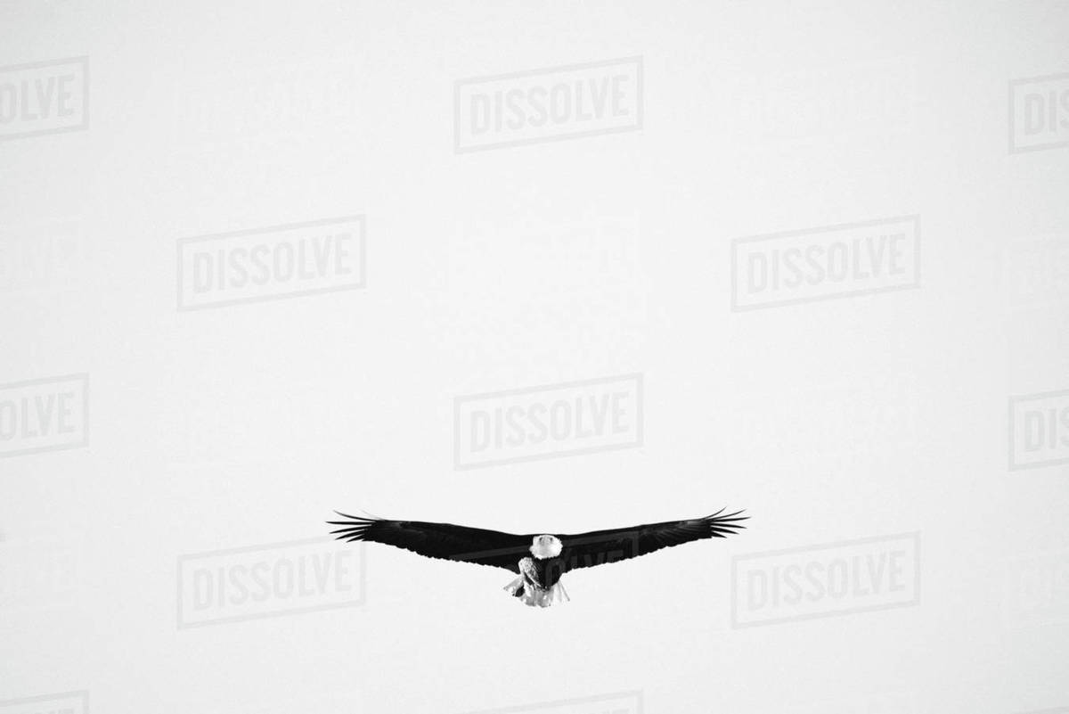A black and white photograph of a bald eagle flying Royalty-free stock photo