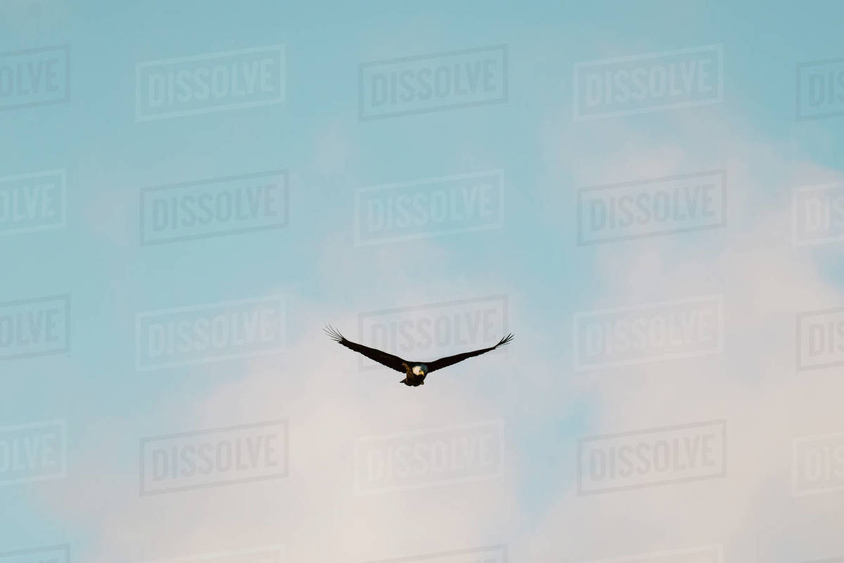 A bald eagle flies in front of clouds and a blue sky at sunset Royalty-free stock photo