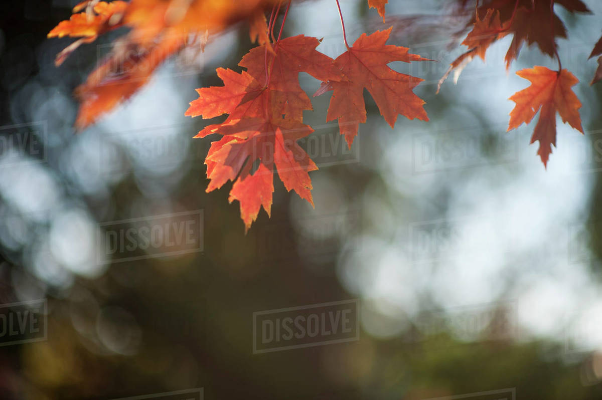 Beautiful fall leaves hanging down against blurred background Royalty-free stock photo