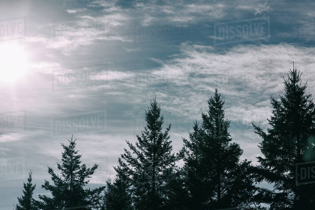 Tops of trees with snow in the sunshine in winter Royalty-free stock photo