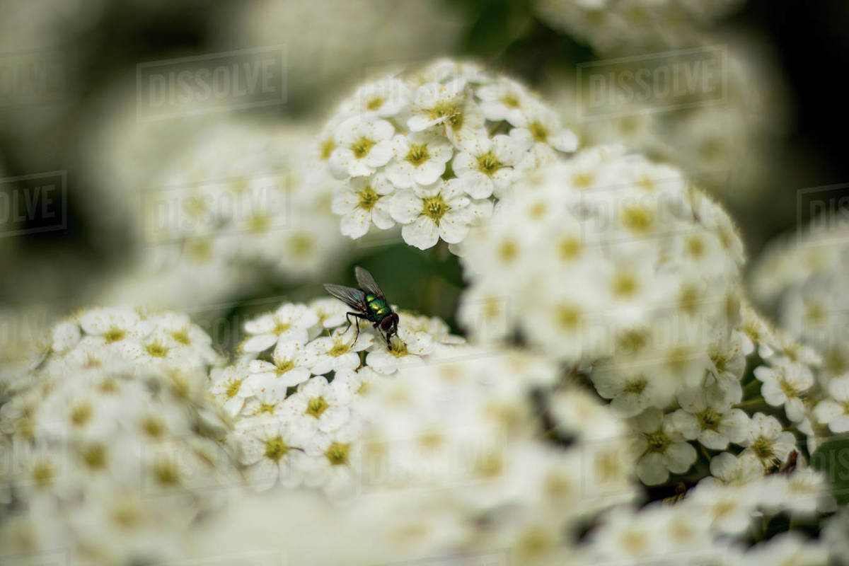 A fly i the white flowers Royalty-free stock photo