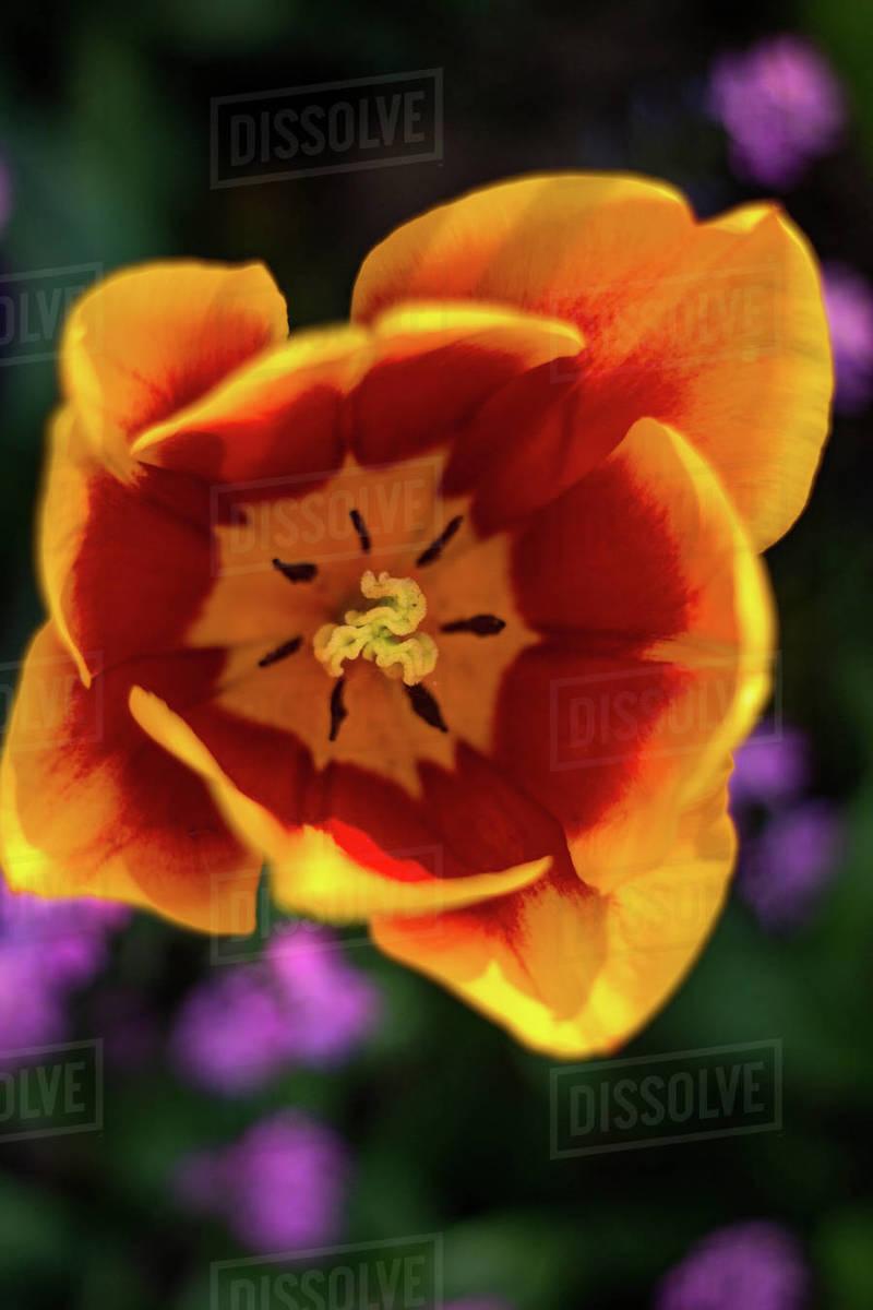 Beautiful tulip Royalty-free stock photo