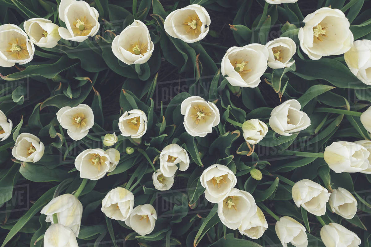 Tulip Festival 3 Royalty-free stock photo