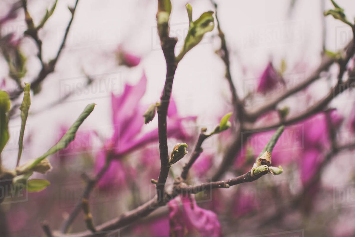 Pink magnolia tree blooming in spring Royalty-free stock photo