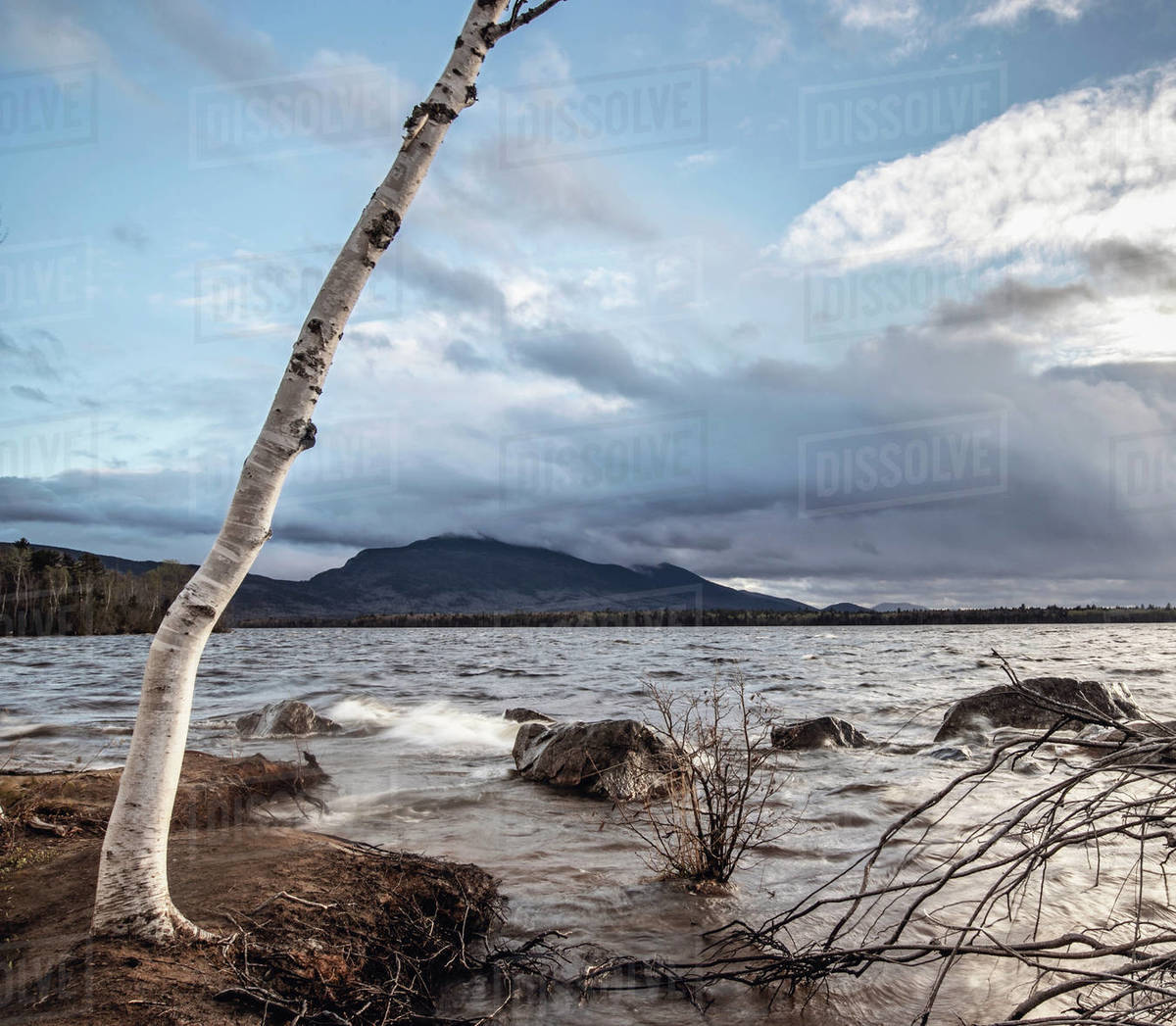 A birch tree at the edge of Flagstaff Lake, Maine on a windy day Royalty-free stock photo