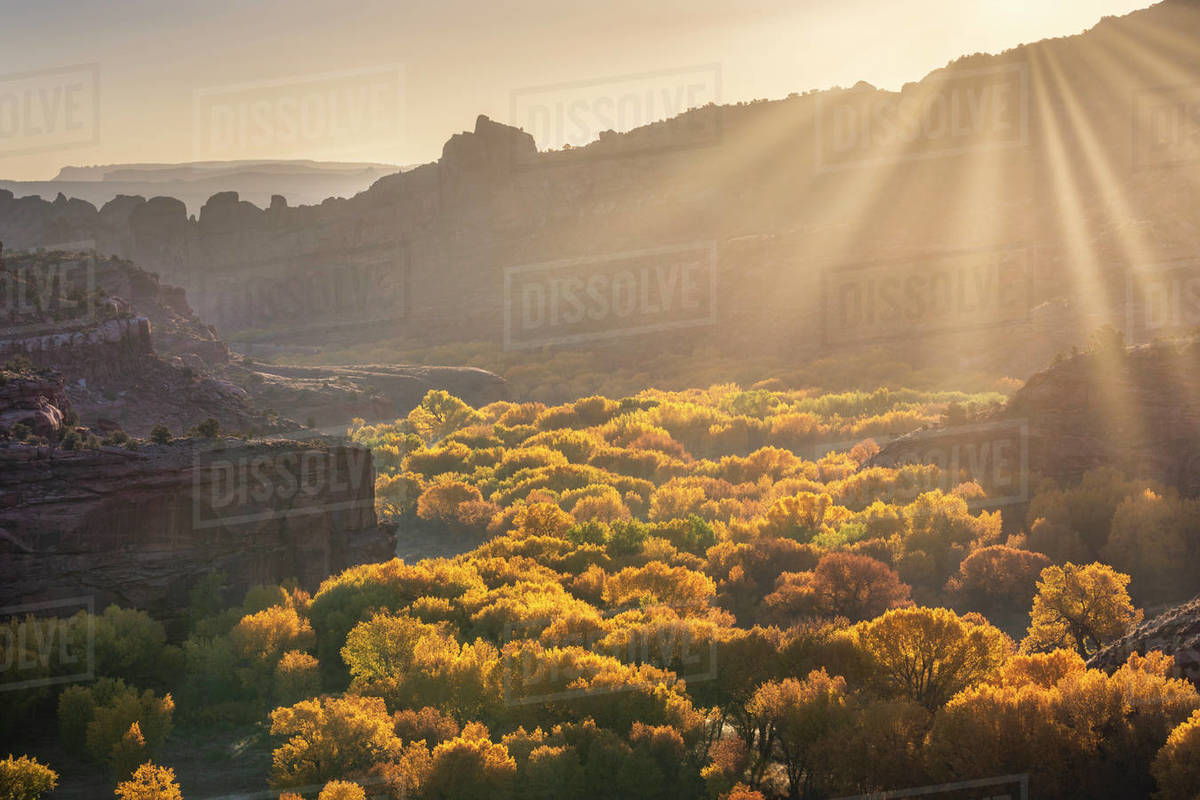 Desert canyon filled with golden cottonwood trees backlit by sun rays. Royalty-free stock photo