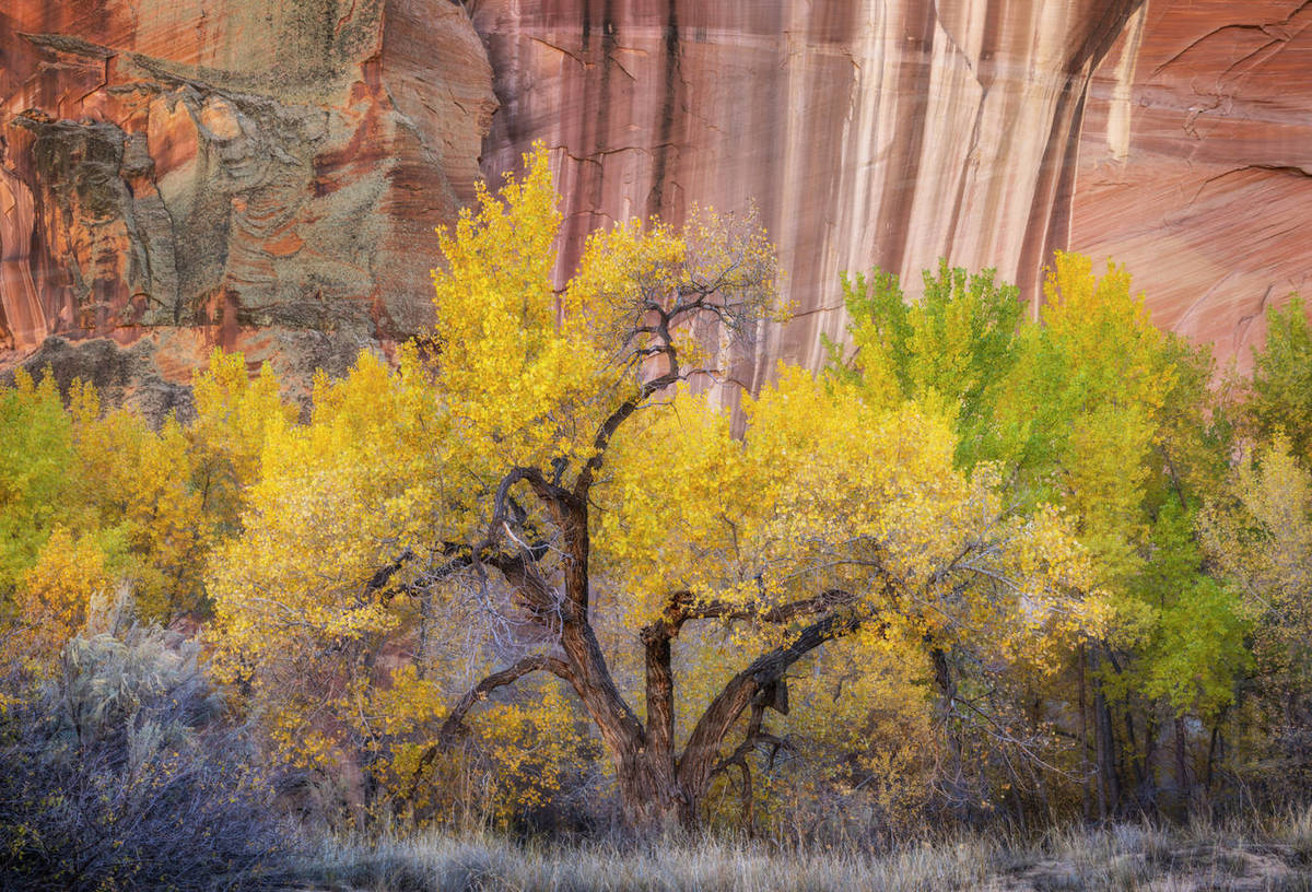 Trees and bushes changing colors amidst desert sandstone walls. Royalty-free stock photo
