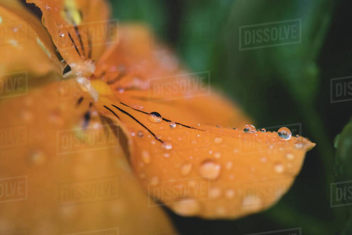 Rain Drops on Flower Royalty-free stock photo