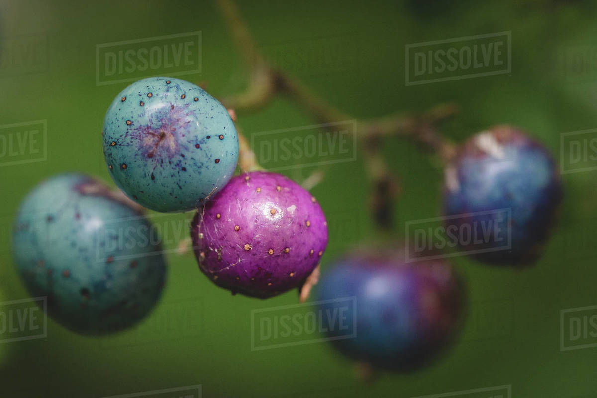 Porcelain Berries Royalty-free stock photo