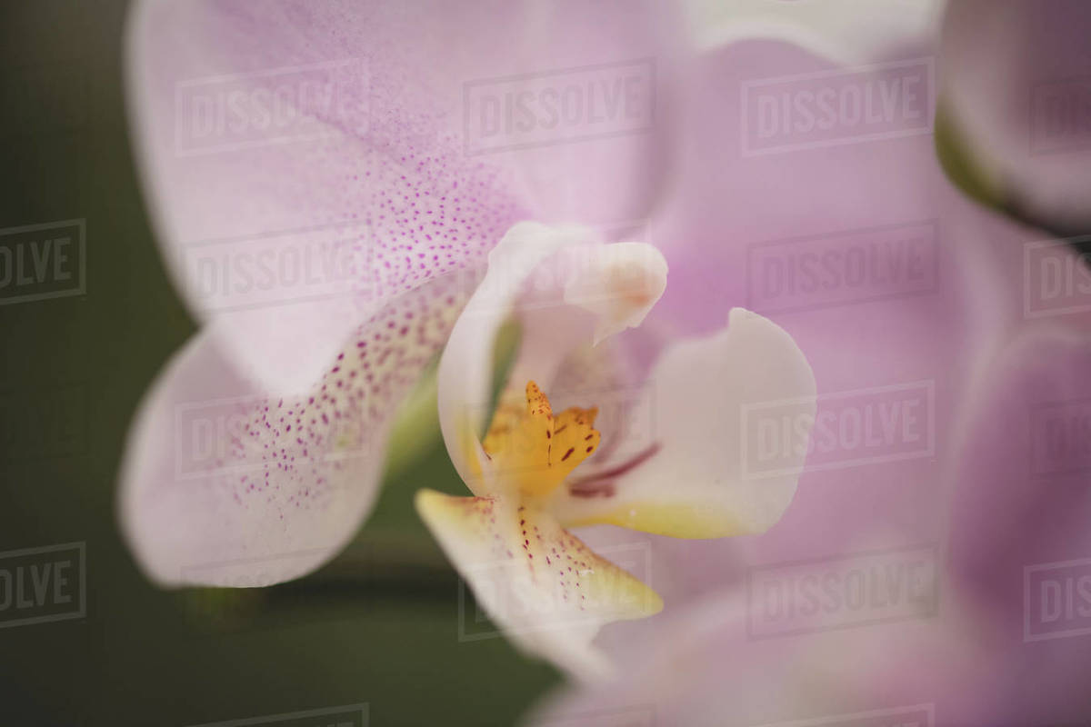 Soft Orchid Royalty-free stock photo