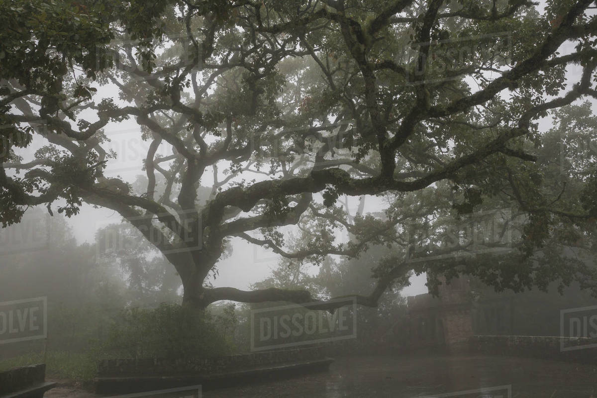Huge tree among the fog in fifth of regaleira Royalty-free stock photo