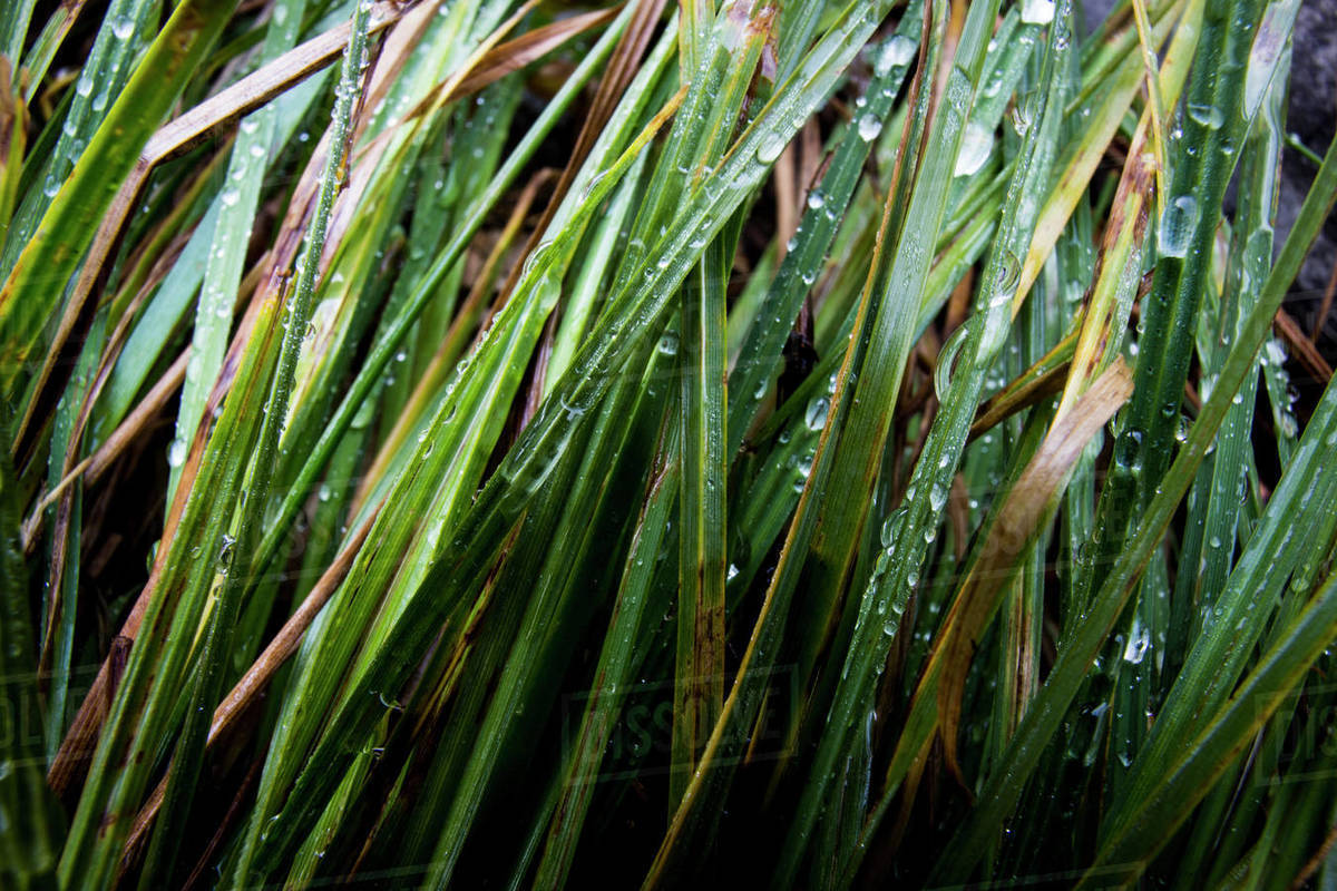 Water drops on blades of grass. Royalty-free stock photo