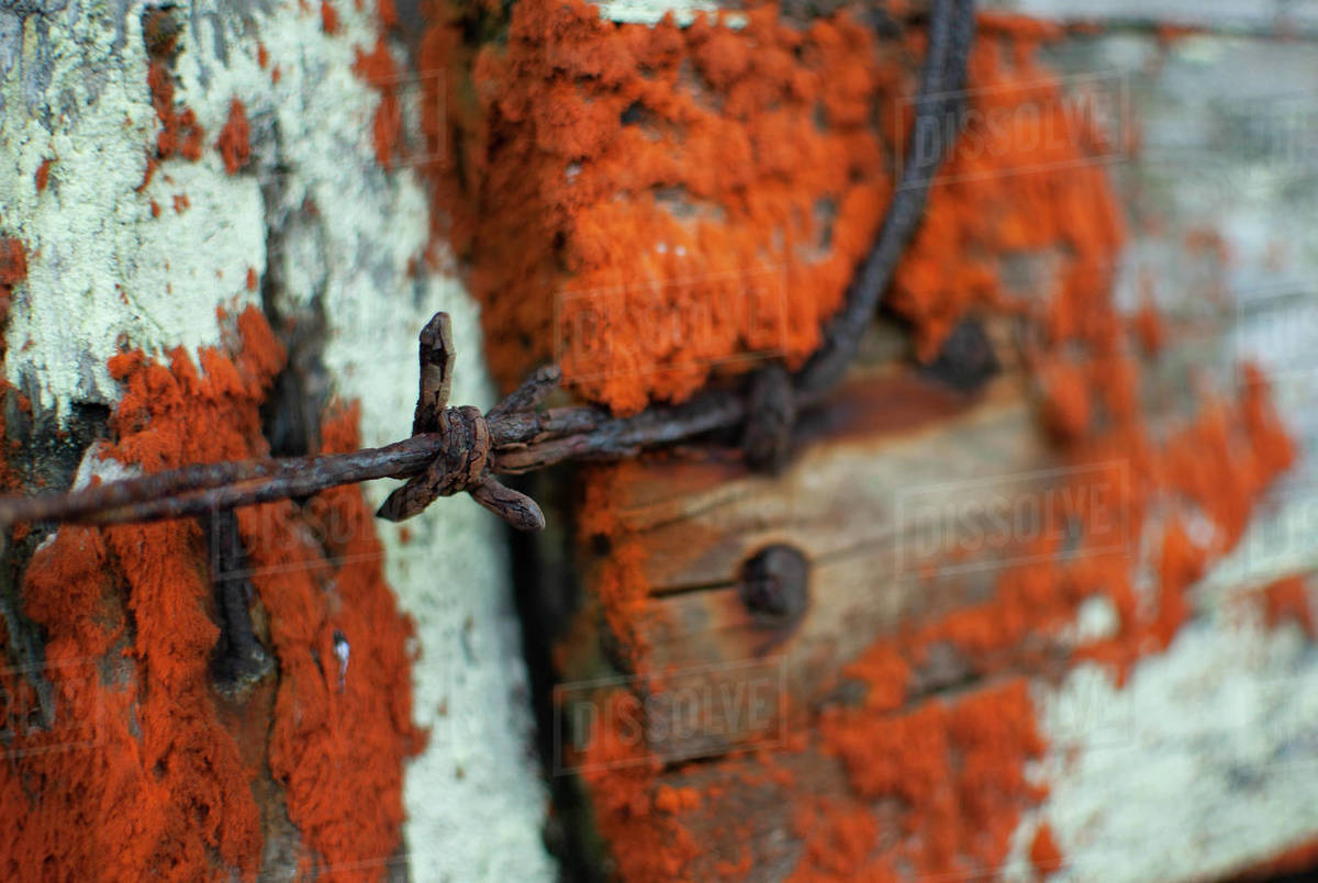 Orange Red Lichen grows on an old fence with rusty barbwire Royalty-free stock photo