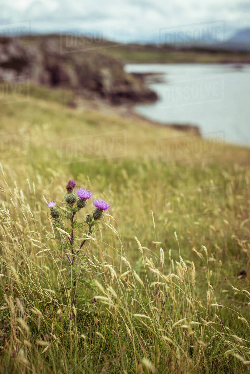 Scottish Thistle flower in grassy mountains Royalty-free stock photo
