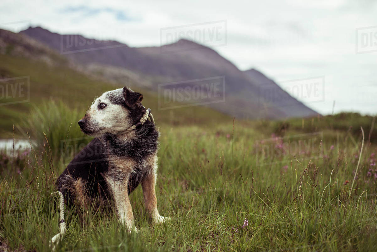 Proud older dog sits in remote mountain heath in scottish highlands Royalty-free stock photo