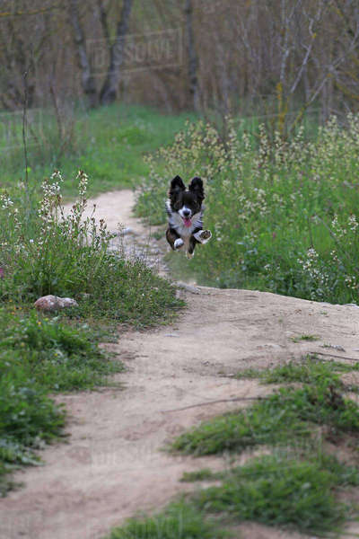 Border Collie running on field in park Royalty-free stock photo