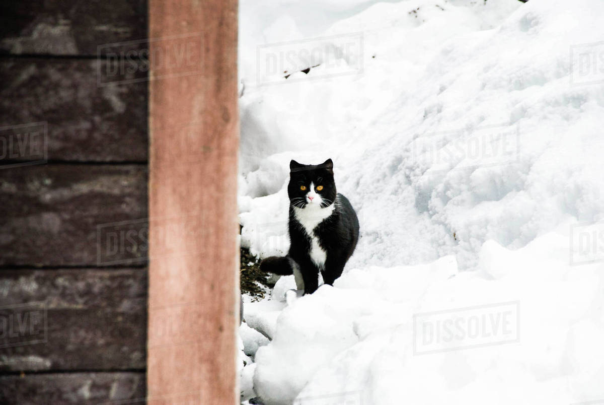 Portrait of tuxedo cat on snow covered field Royalty-free stock photo