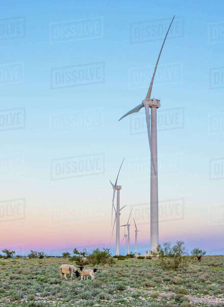 Sheep on field against windmills Royalty-free stock photo