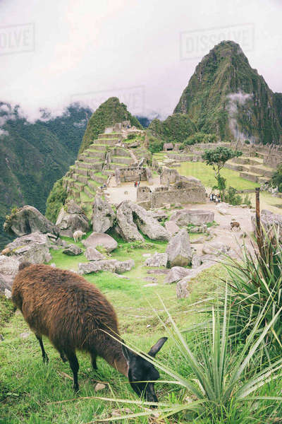 Animal grazing on field against machu picchu with Mt huayna picchu Royalty-free stock photo