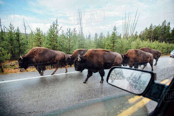 American bison walking on road seen through car window Royalty-free stock photo
