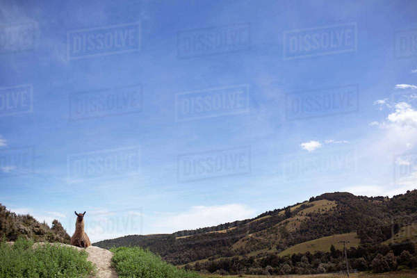 Llama sitting on field against sky Royalty-free stock photo