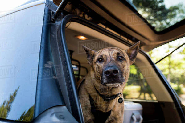 Portrait of dog in car trunk Royalty-free stock photo
