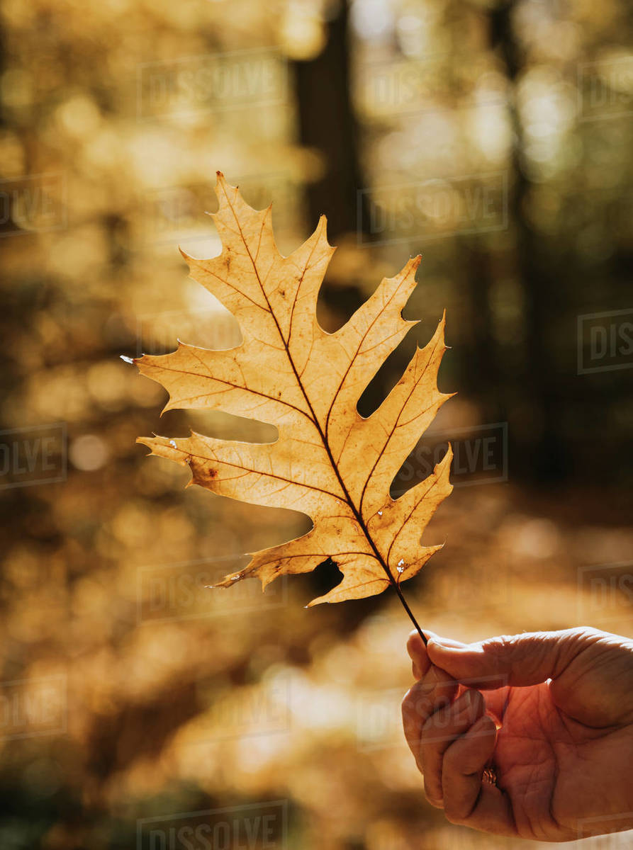 Close up of hand holding backlit oak leaf on a fall day in a forest. Royalty-free stock photo