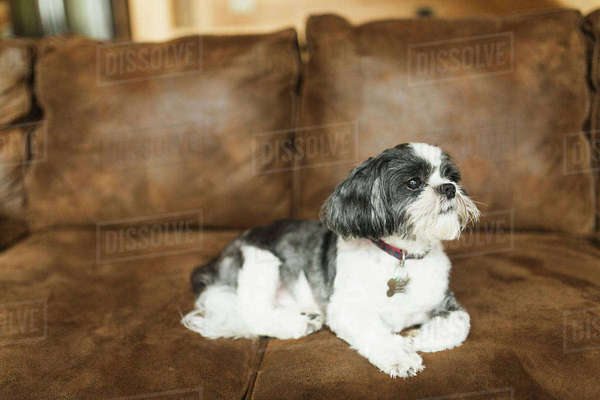 Dog relaxing on sofa at home Royalty-free stock photo