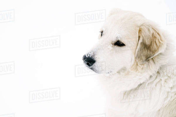 High angle view of golden retriever standing on snow covered field Royalty-free stock photo
