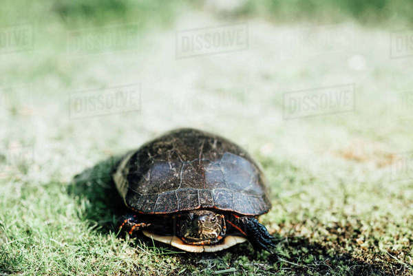 High angle view of tortoise on grassy field Royalty-free stock photo